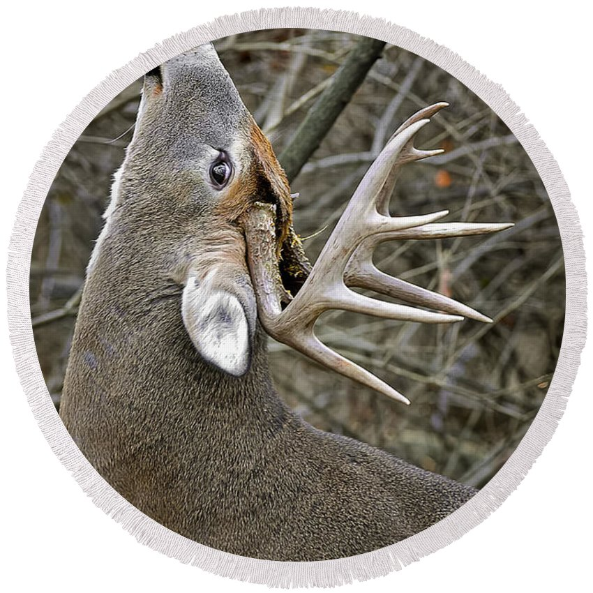 White-tailed Deer Round Beach Towel featuring the photograph Deer Pictures 444 by World Wildlife Photography