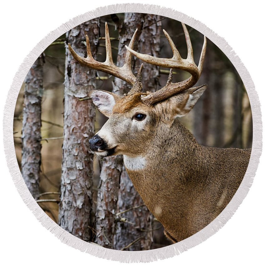 White-tailed Deer Round Beach Towel featuring the photograph Deer Pictures 508 by World Wildlife Photography