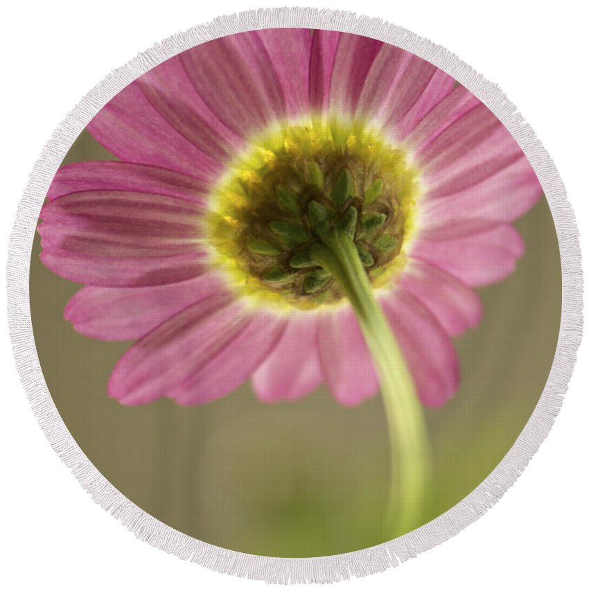 Marguerite Daisy Round Beach Towel featuring the photograph Delicate Daisy by Penny Meyers