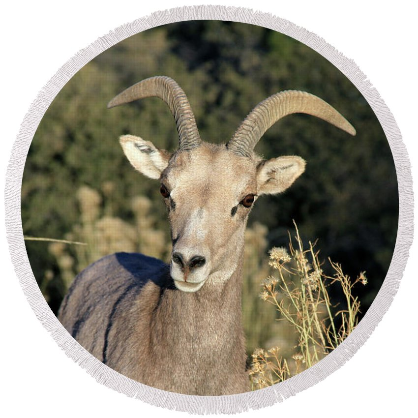Mountains Round Beach Towel featuring the photograph Desert Bighorn Sheep Zion National Park by Ed Riche