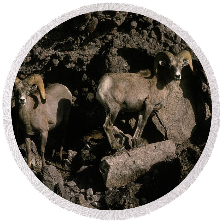 Animal Round Beach Towel featuring the photograph Desert Bighorns Ovis Canadensis Nelsoni by Ron Sanford