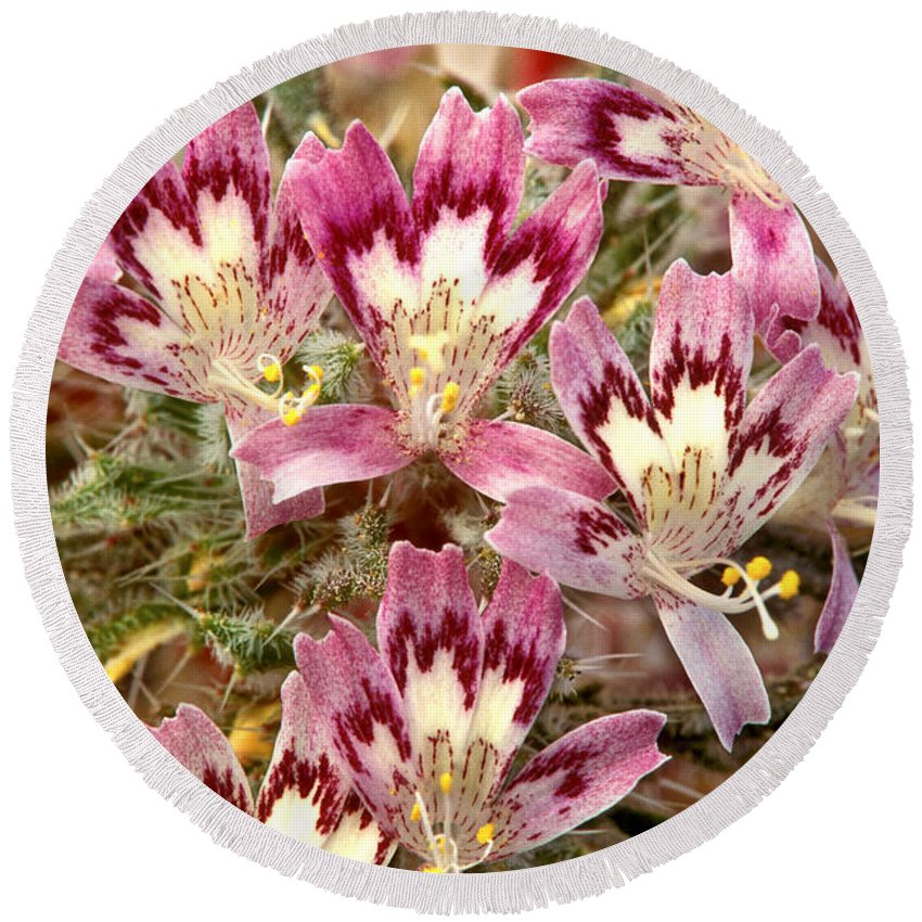 Desert Calico Round Beach Towel featuring the photograph Desert Calico Wildflowers by Dave Welling