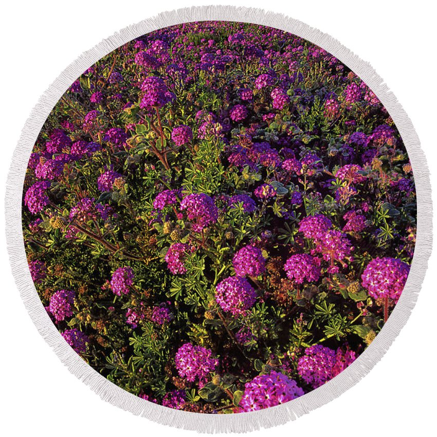 Desert Sand Verbena Round Beach Towel featuring the photograph Desert Sand Verbena Wildflowers by Dave Welling