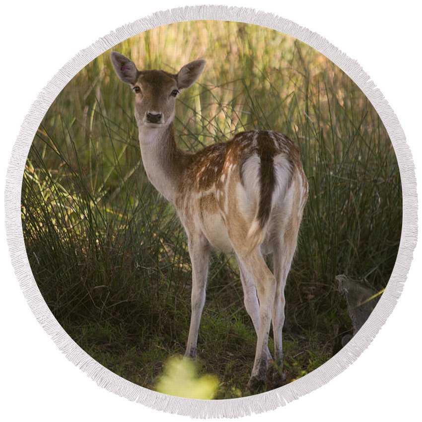 Deer Round Beach Towel featuring the photograph Devonshire Bambi by Rob Hawkins