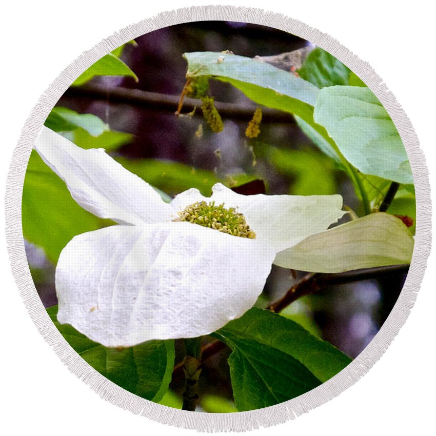 Dogwood Round Beach Towel featuring the photograph Dogwood In Yosemite Valley-2013 by Ruth Hager