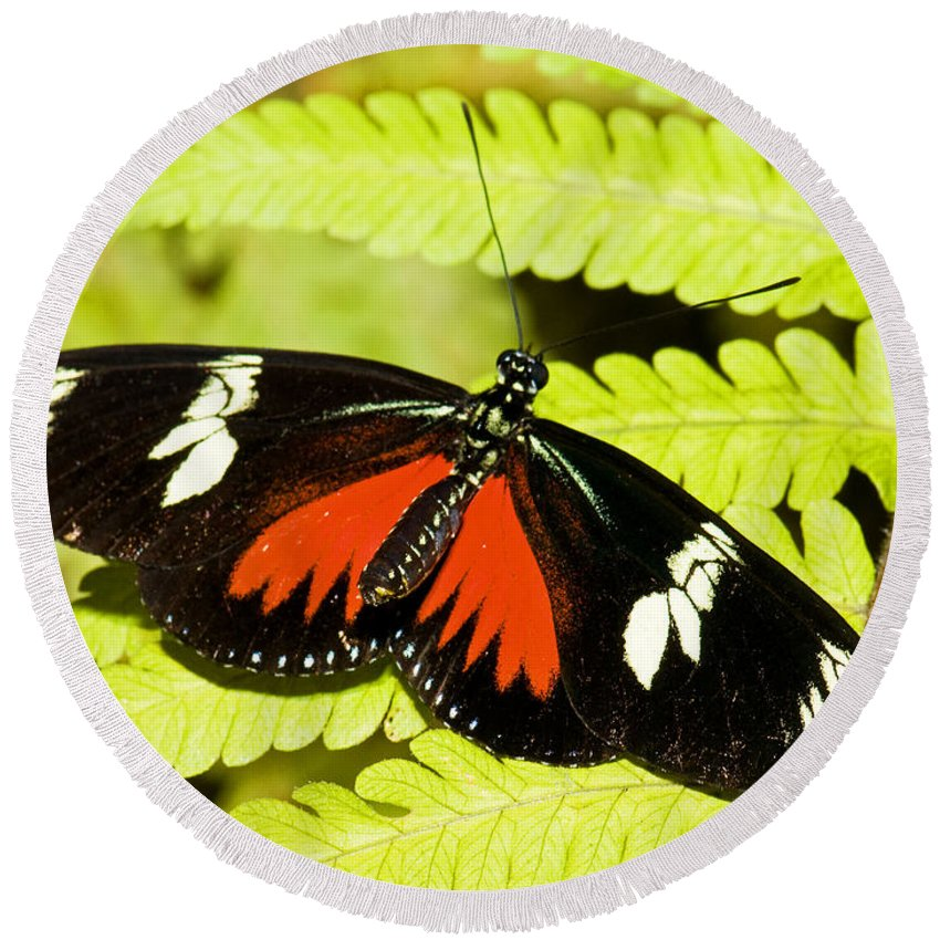 Nature Round Beach Towel featuring the photograph Doris Longwing Butterfly by Millard H. Sharp