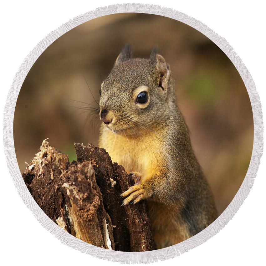 Douglas Squirrel Round Beach Towel featuring the photograph Douglas Squirrel On Stump by Sharon Talson
