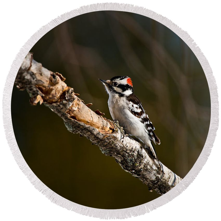 Downy Woodpecker Round Beach Towel featuring the photograph Downy Woodpecker Pictures 36 by World Wildlife Photography