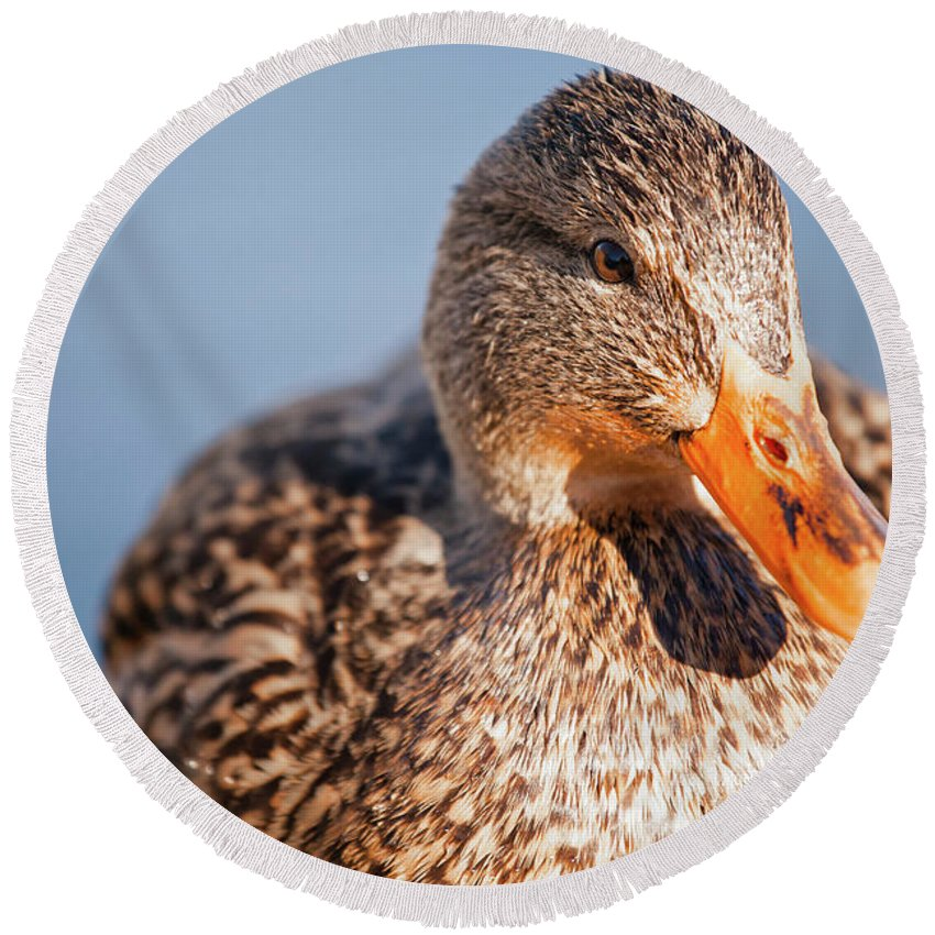 Anas Platyrhynchos Round Beach Towel featuring the photograph Duck In Water by Christopher Kimmel
