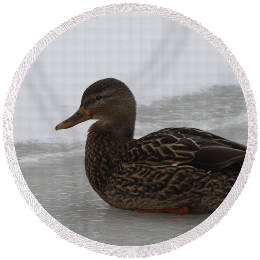Duck On Ice Round Beach Towel featuring the photograph Duck On Ice by John Telfer