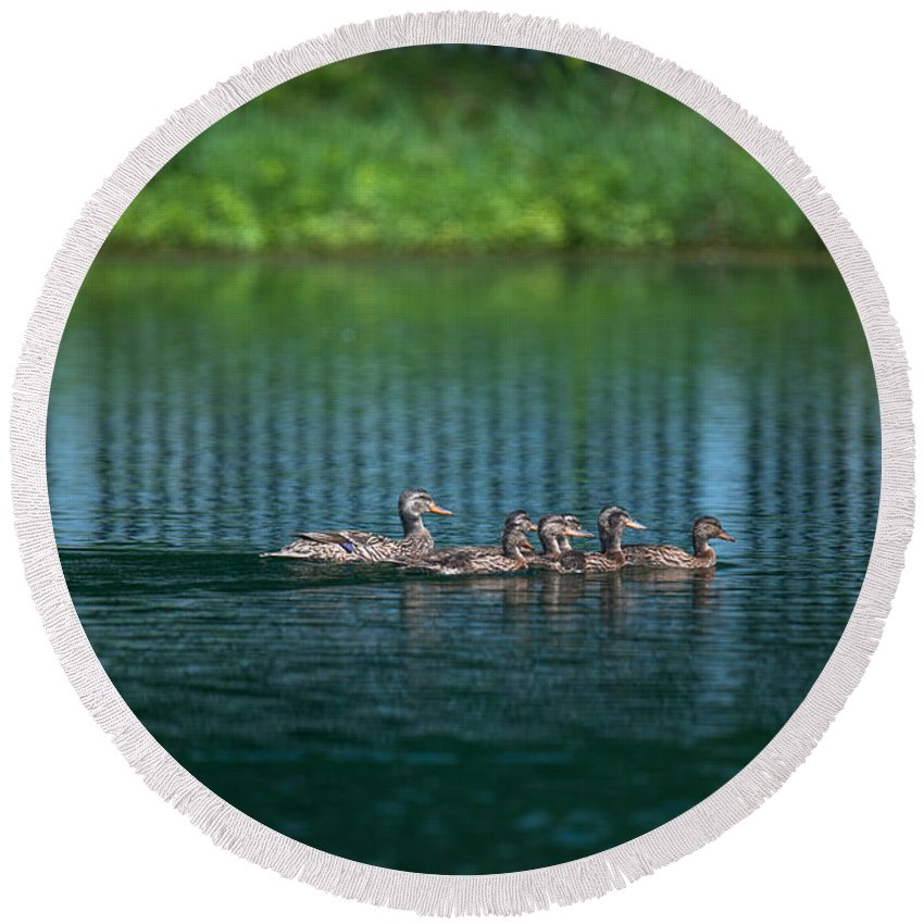 Ducks Round Beach Towel featuring the photograph Duck Slide by Dale Powell