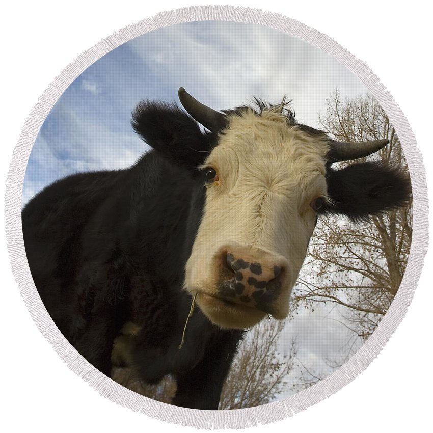 Cow Round Beach Towel featuring the photograph E I E I O by Jerry McElroy
