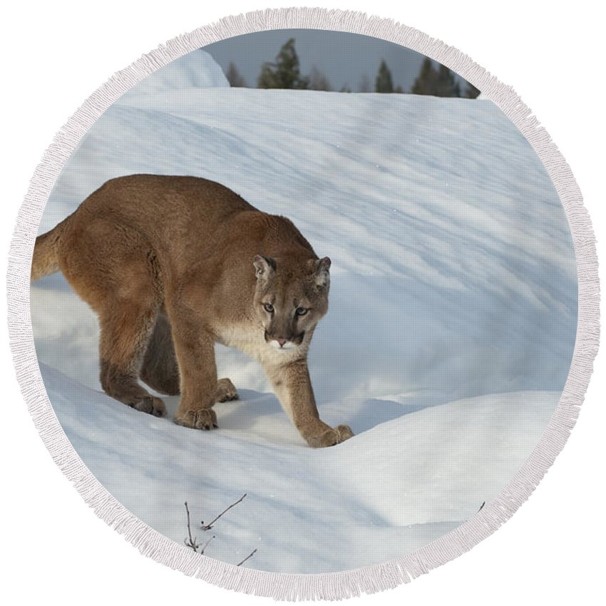 Cougar Round Beach Towel featuring the photograph Early Morning Survey by Sandra Bronstein
