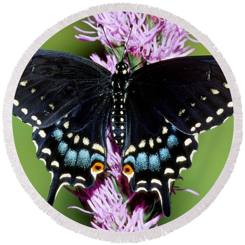 Fauna Round Beach Towel featuring the photograph Eastern Black Swallowtail Butterfly by Millard Sharp
