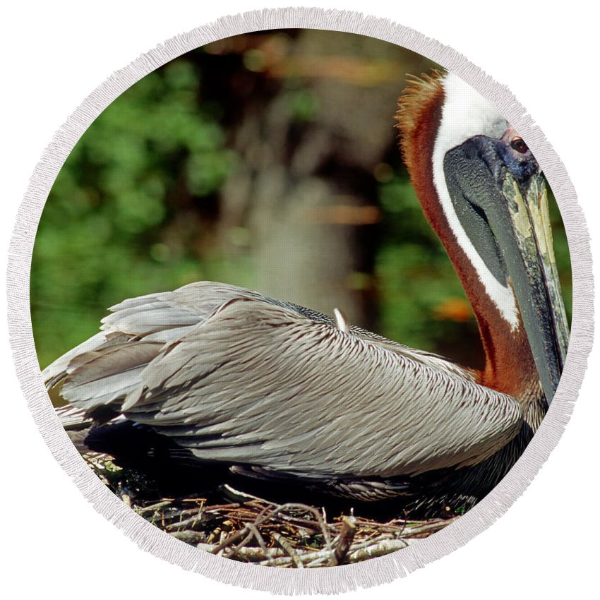 Animal Round Beach Towel featuring the photograph Eastern Brown Pelican by Millard H. Sharp