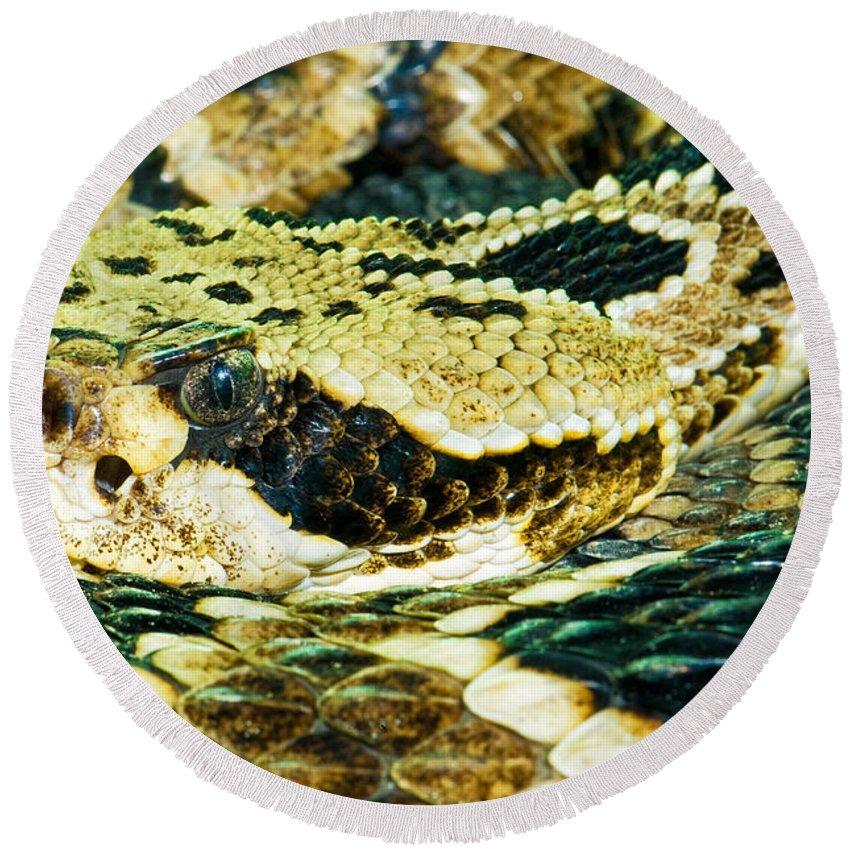 Animal Round Beach Towel featuring the photograph Eastern Diamondback Rattlesnake by Millard H. Sharp