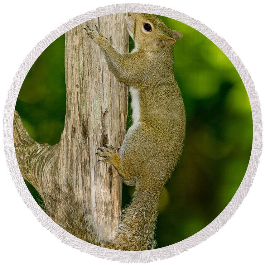 Eastern Gray Squirrel Round Beach Towel featuring the photograph Eastern Gray Squirrel by Anthony Mercieca
