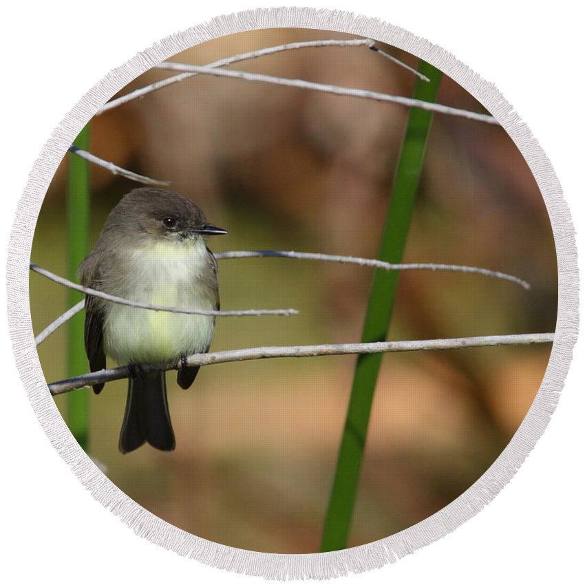 Phoebe Round Beach Towel featuring the photograph Eastern Phoebe by Bruce J Robinson
