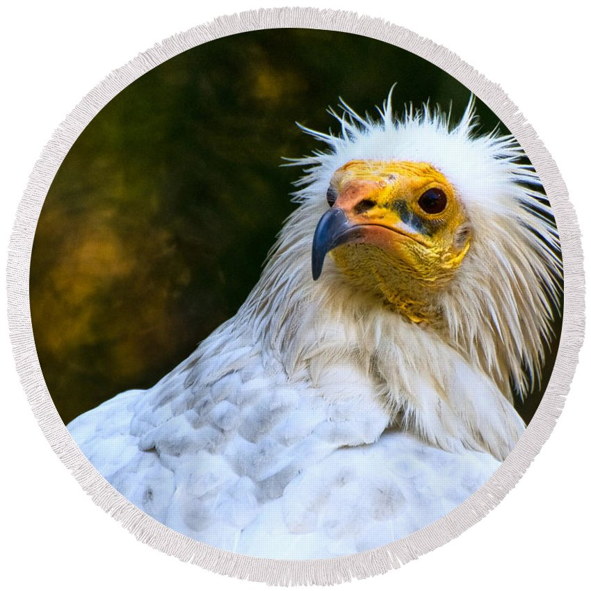 Egyptian Round Beach Towel featuring the photograph Egyptian Vulture by Ginger Wakem