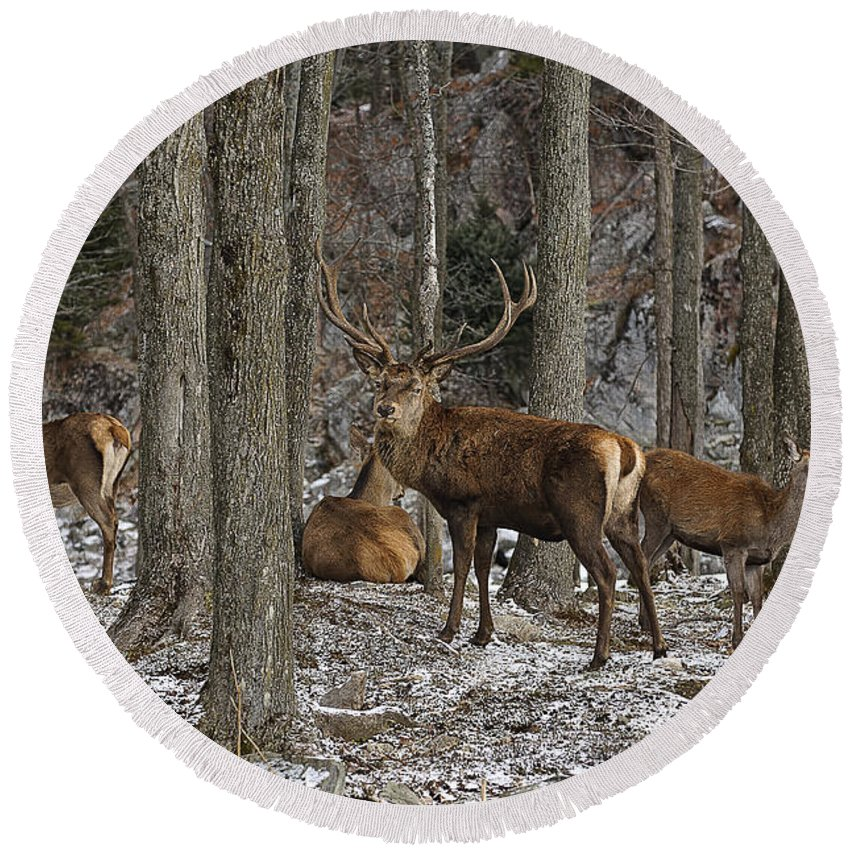Elk Round Beach Towel featuring the photograph Elk Pictures 45 by World Wildlife Photography
