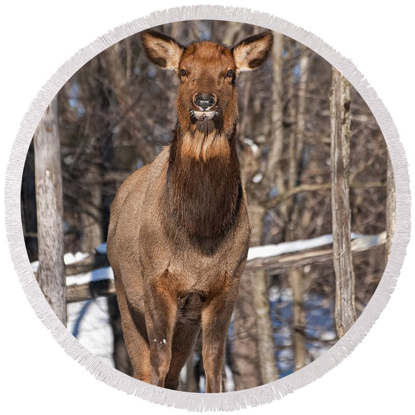 Elk Round Beach Towel featuring the photograph Elk Pictures 50 by World Wildlife Photography