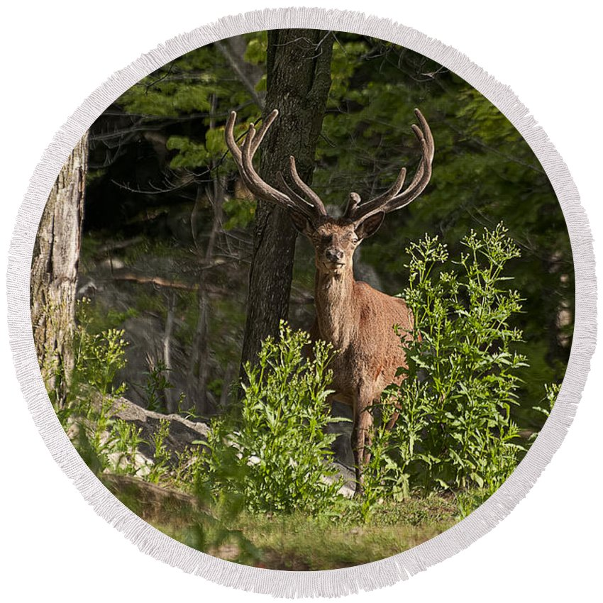 Elk Round Beach Towel featuring the photograph Elk Pictures 82 by World Wildlife Photography