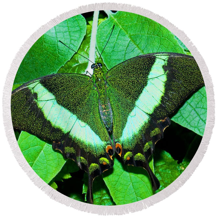 Nature Round Beach Towel featuring the photograph Emerald Swallowtail Butterfly by Millard H. Sharp