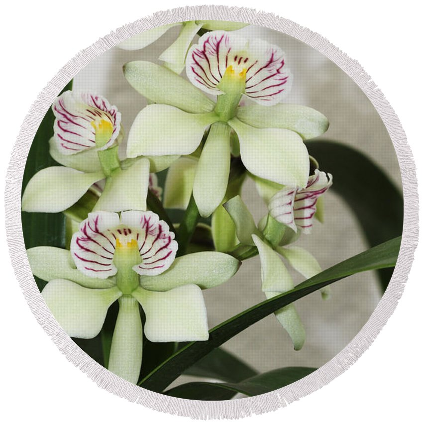 Orchid Round Beach Towel featuring the photograph Encyclia Radiata by Judy Whitton