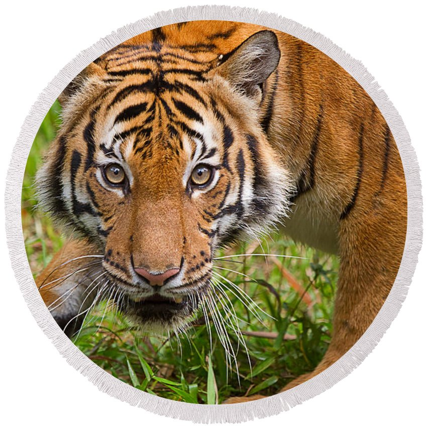 Tiger Round Beach Towel featuring the photograph Endangered Species Sumatran Tiger by Louise Heusinkveld
