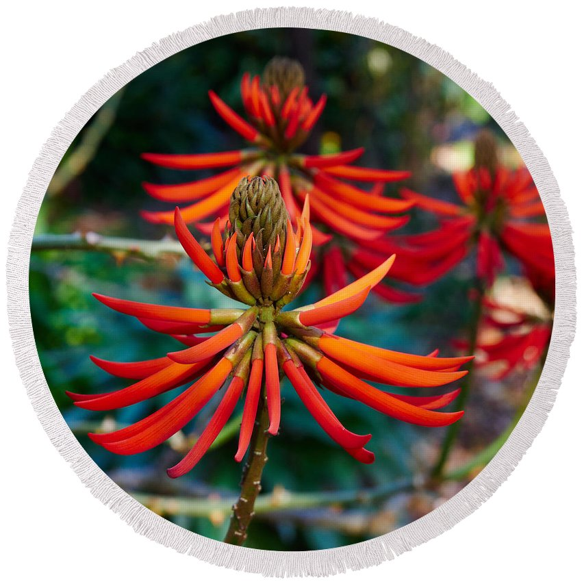 Atlantic Ocean Round Beach Towel featuring the photograph Erythrina Speciosa by Jouko Lehto