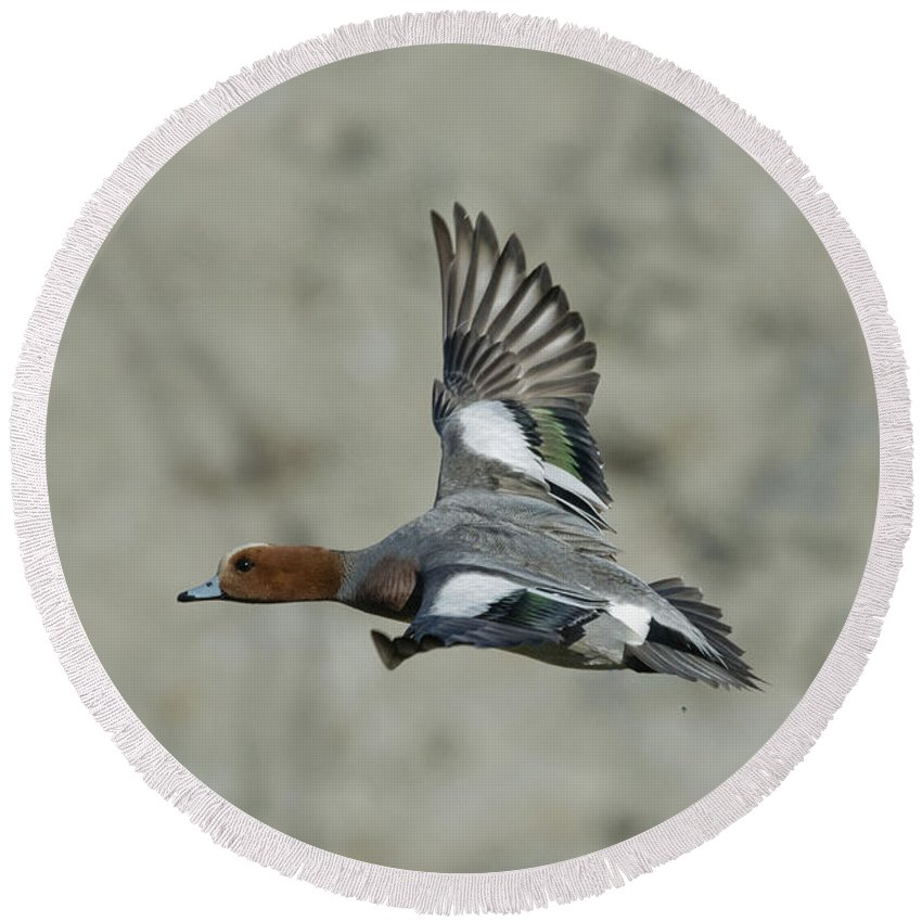 Eurasian Wigeon Round Beach Towel featuring the photograph Eurasian Wigeon Flying by Anthony Mercieca
