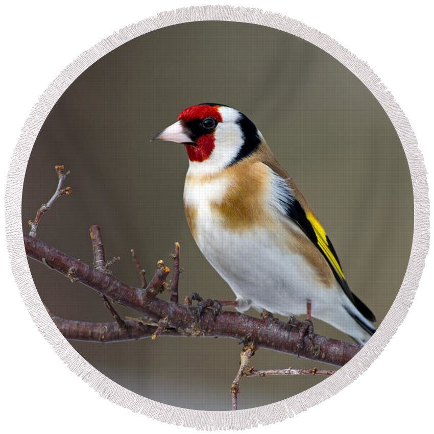 Goldfinch Round Beach Towel featuring the photograph European Goldfinch by Torbjorn Swenelius