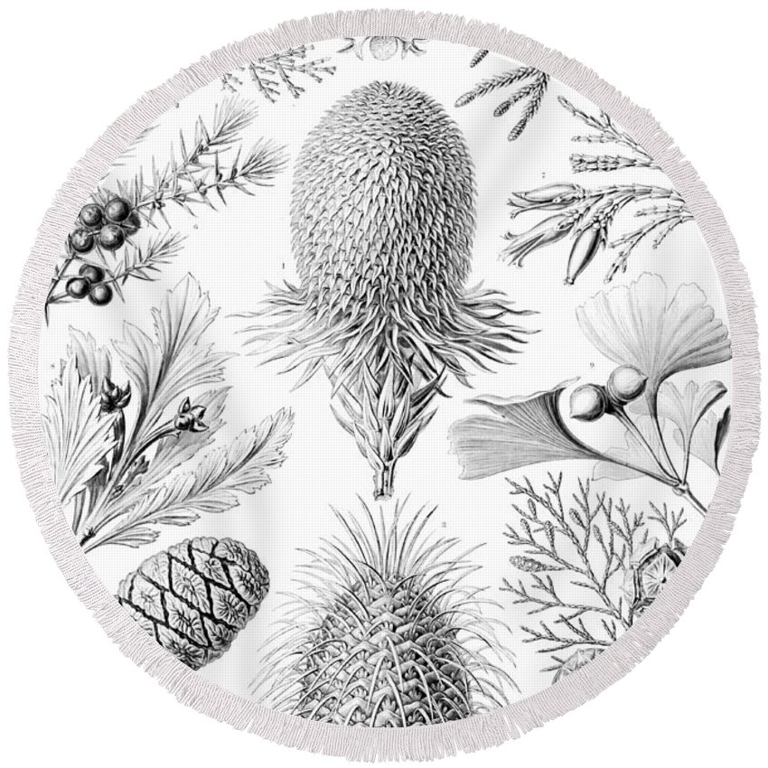 Botany Round Beach Towel featuring the drawing Examples Of Coniferae From Kunstformen by Ernst Haeckel