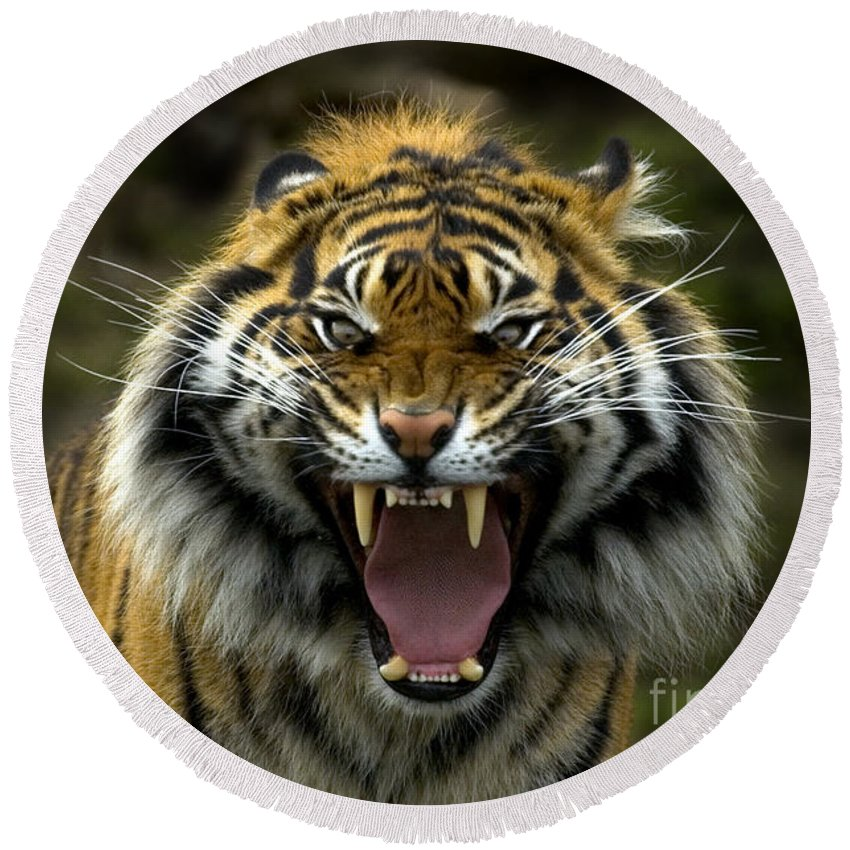 Tiger Round Beach Towel featuring the photograph Eyes Of The Tiger by Mike Dawson