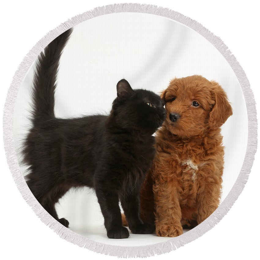 Nature Round Beach Towel featuring the photograph F1b Goldendoodle Pup With Kitten by Mark Taylor