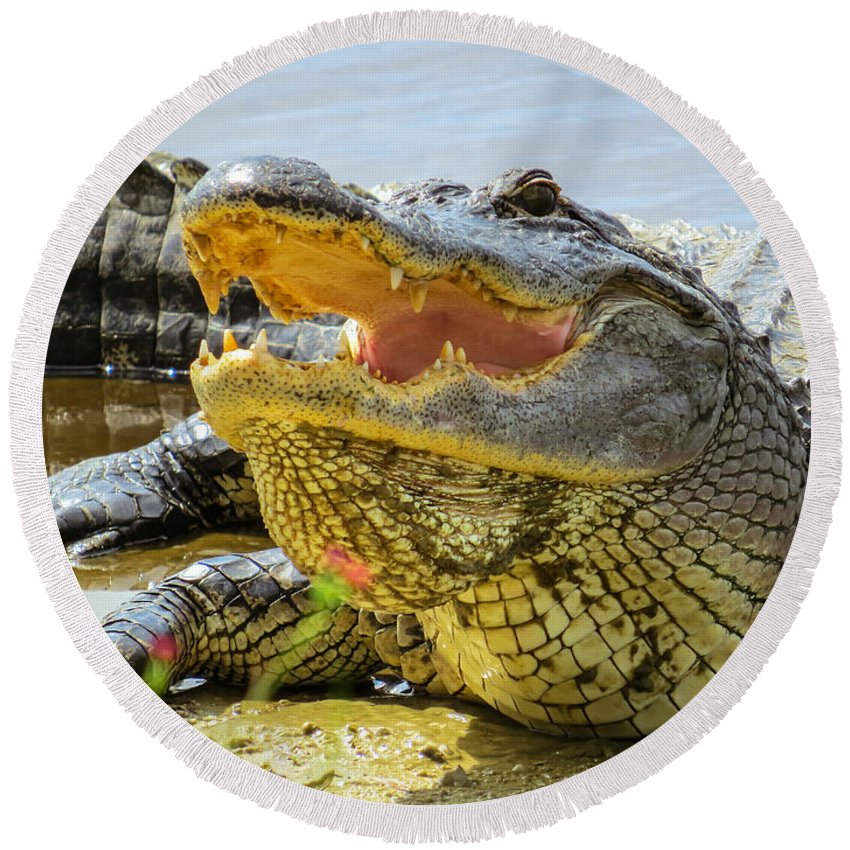 American Alligator Round Beach Towel featuring the photograph Face To Face by Zina Stromberg