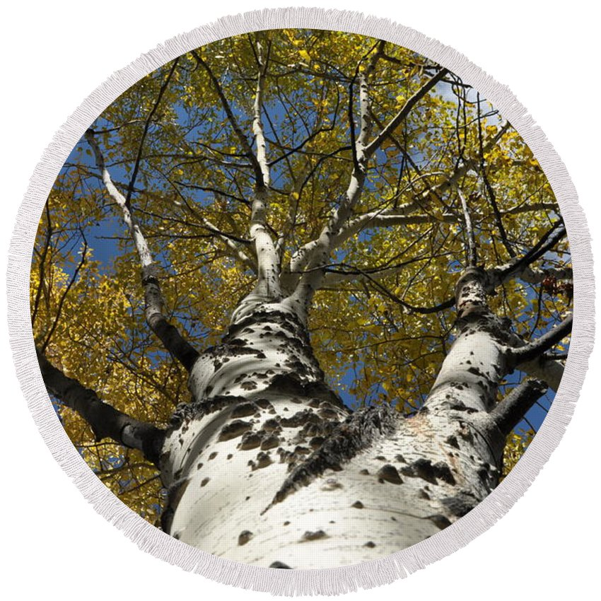 Gold Round Beach Towel featuring the photograph Fall Aspen by Frank Madia