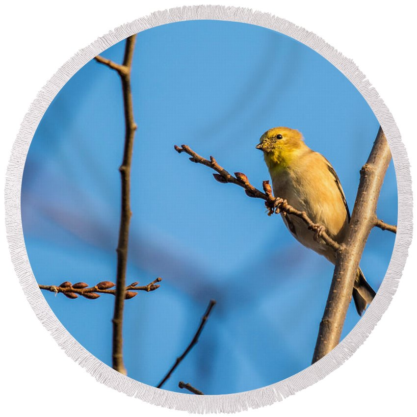 Round Beach Towel featuring the photograph Fall Goldfinch by Cheryl Baxter