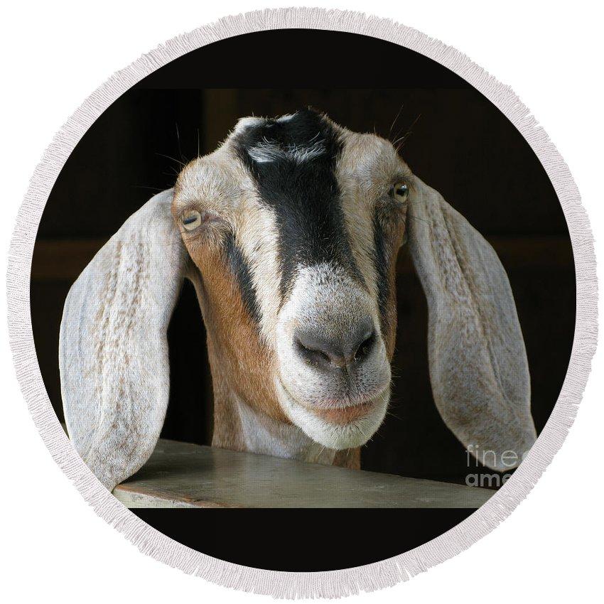 Goat Round Beach Towel featuring the photograph Farm Favorite by Ann Horn