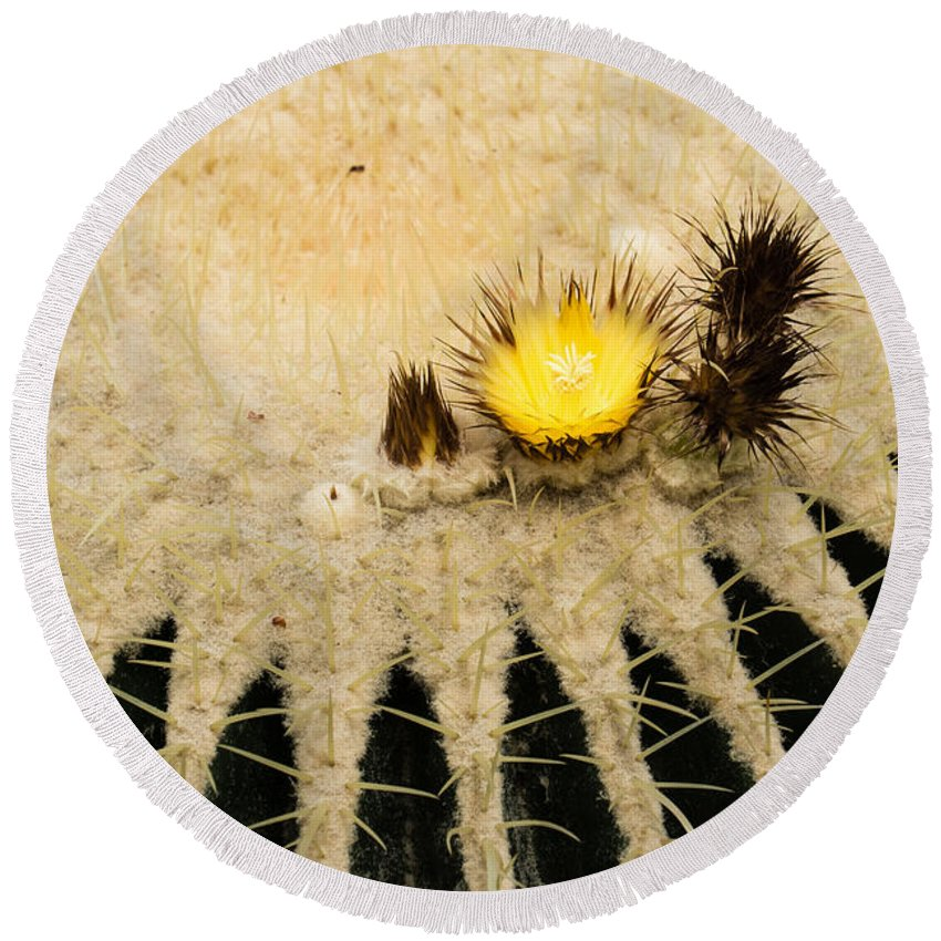Cacti Round Beach Towel featuring the photograph Fascinating Cactus Bloom - Soft And Fragile Among The Thorns by Georgia Mizuleva