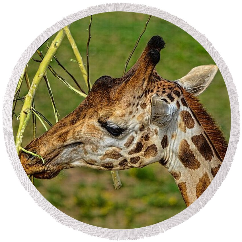 California Round Beach Towel featuring the photograph Feeding Giraffe by Tommy Anderson