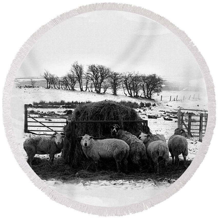 Sheep Round Beach Towel featuring the photograph Feeding Time by Gillian Singleton
