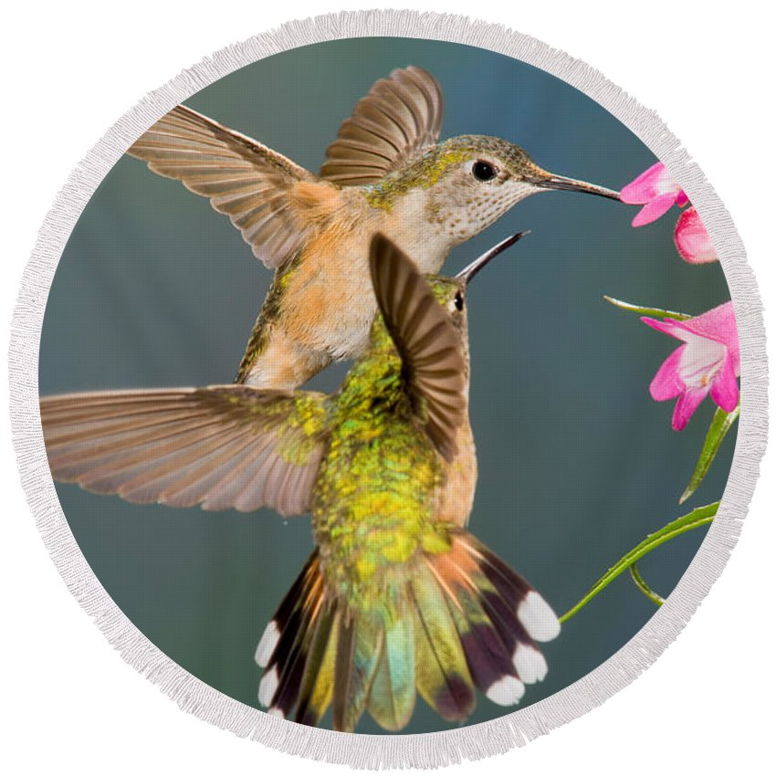 Fauna Round Beach Towel featuring the photograph Female Broad-tailed Hummingbird by Anthony Mercieca