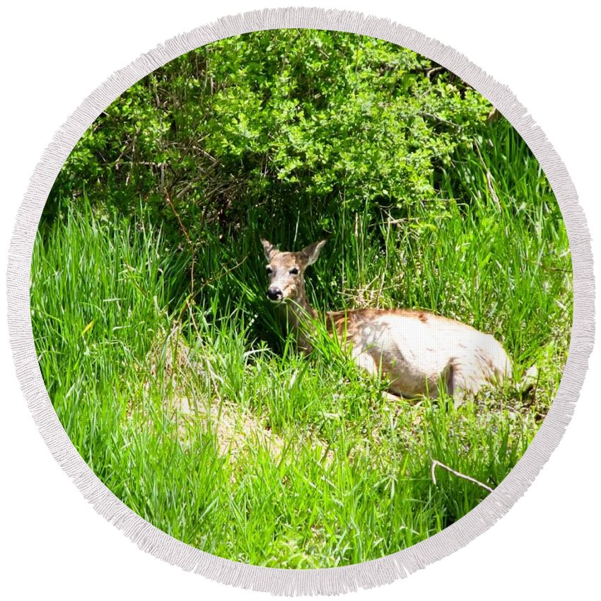 Female Deer Resting Round Beach Towel featuring the photograph Female Deer Resting by Cynthia Woods