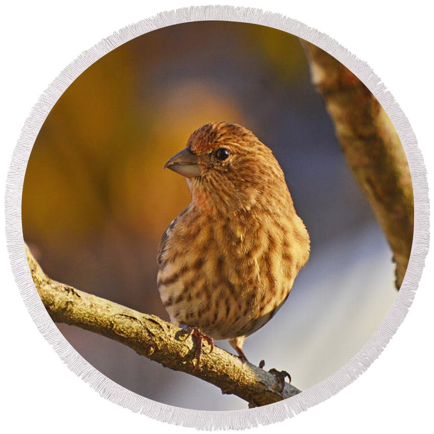 Nature Round Beach Towel featuring the photograph Female Housefinch by Debbie Portwood