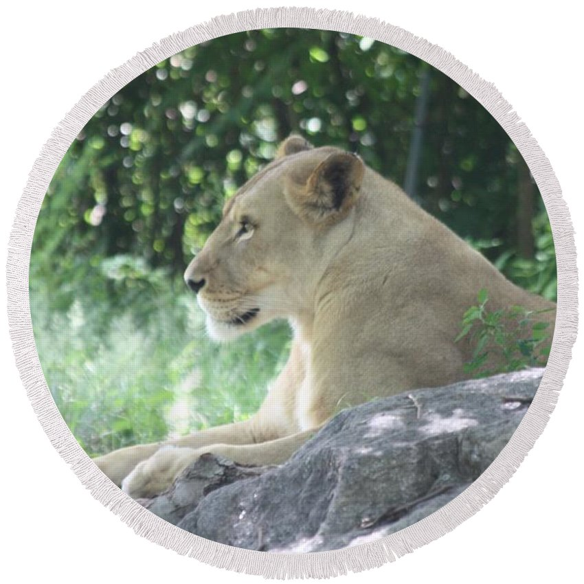 Female Lion On Guard Round Beach Towel featuring the photograph Female Lion On Guard by John Telfer