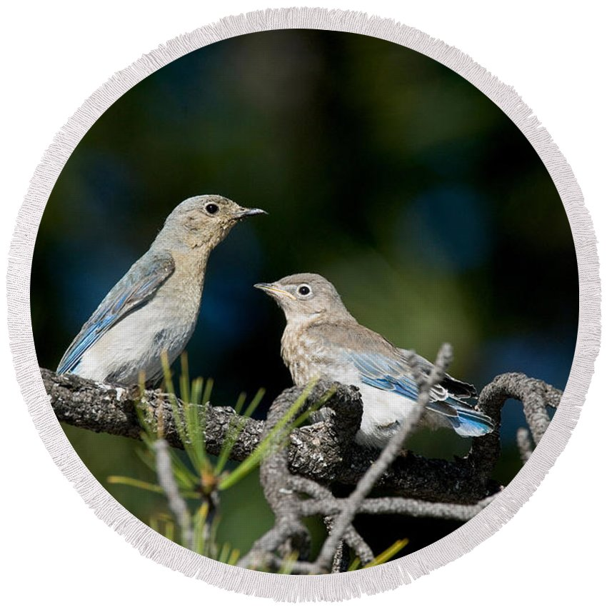Animal Round Beach Towel featuring the photograph Female Mountain Bluebird With Fledgling by Anthony Mercieca