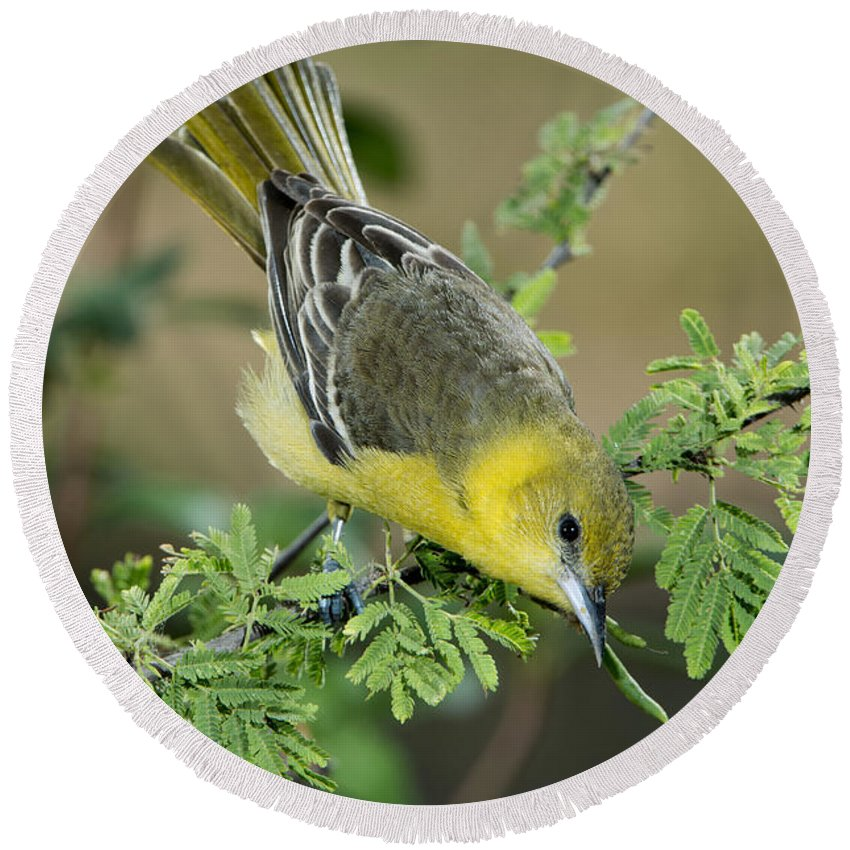 Orchard Oriole Round Beach Towel featuring the photograph Female Orchard Oriole by Anthony Mercieca