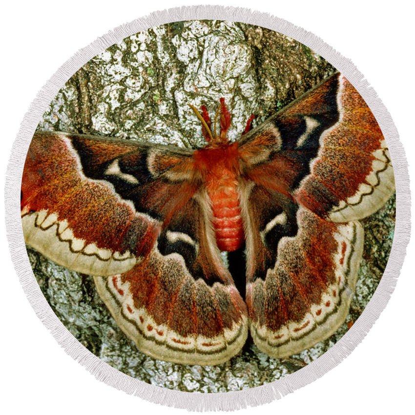 Promethea Moth Round Beach Towel featuring the photograph Female Promethea Moth by Millard H Sharp