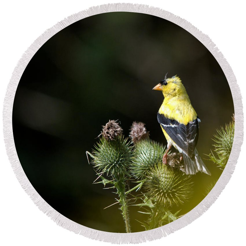 Finch Round Beach Towel featuring the photograph Finch In The Thistles by Cheryl Baxter